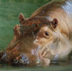 how to say hippopotamus